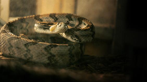 Alabama Snake